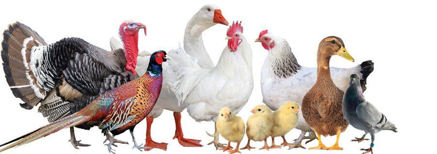 Poultry Bird